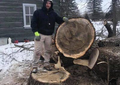 Black walnut tree removal
