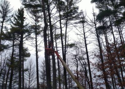 Limbing big pine tree